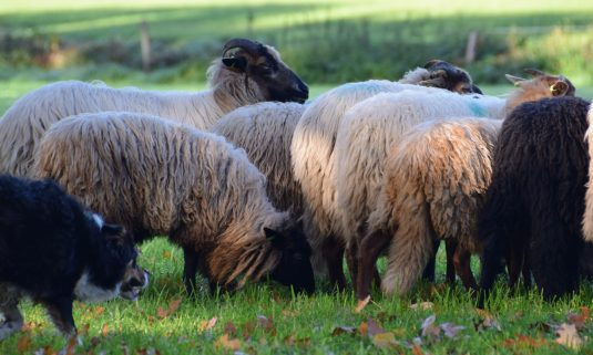 Solex & schapendrijven