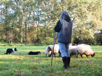 Heisessie schapen drijven